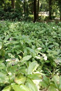 ヤブミョウガ:薄暗い木陰にひと際目を引く、銀白色の花塊