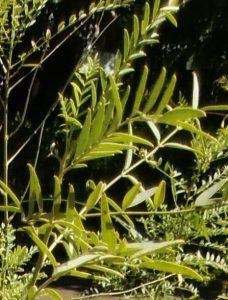 スペインカンゾウの葉拡大