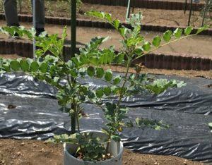 カンゾウ(甘草):栽培が難しいとされる薬用作物